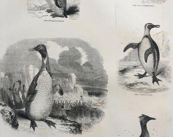 1856 Large Original Antique Bird Engraving - Patagonian Penguin, King Penguin, Jackass, Crested, Grebe Petrel - Ornithology - Wall Decor