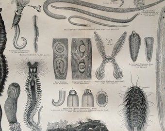 1890 Worms Large Original Antique print - Available Mounted and Matted - Natural History - Zoology