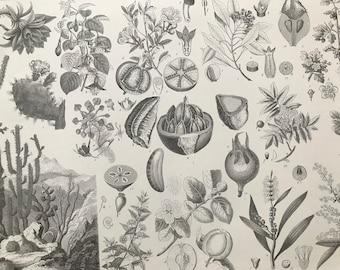 1869 Botany Large Original Antique Engraved Illustration - Botanical Art - Cactus, Flower, Fruit, Pomegranate - Plant - Mounted and Matted