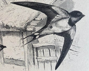 1896 Common Swallow Original Antique Print - Ornithology - Wildlife - Natural History - Mounted and Matted - Available Framed