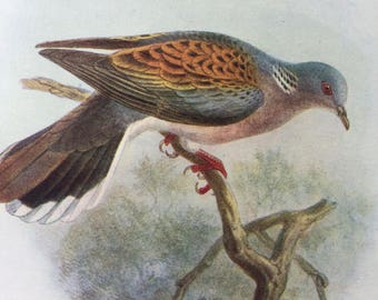 1907 Turtle Dove Original Antique Lithograph - Ornithology - British Birds - Decorative Print - Wildlife Decor - Available Matted