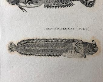 1812 Gattorugine Blenny, Crested Blenny & Spotted Blenny Original Antique Engraving - Fish Art - Fishing Cabin Decor - Available Framed