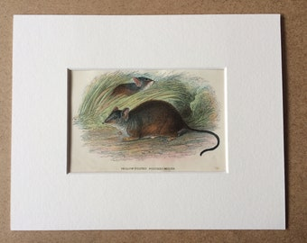 1896 Yellow-Footed Pouched Mouse Original Antique Chromolithograph - Wildlife - Marsupial - Mounted and Matted - Available Framed