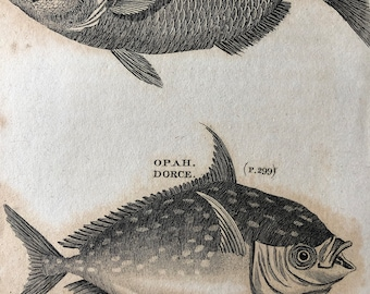 1812 Lunulated Gilt Head and Opah Dorce Original Antique Engraving - Ichthyology - Fish Art - Fishing Cabin Decor - Available Framed