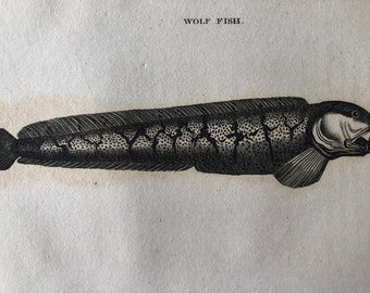 1812 Wolf Fish Original Antique Engraving - Ichthyology - Fish Art - Fishing Cabin Decor - Available Framed