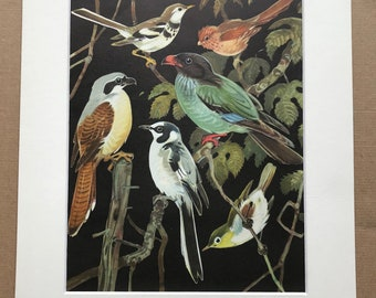 1968 Original Vintage Print - Mounted and Matted - Forest Wagtail, Parrotbill, Tiger Shrike, Dollarbird - Bird - Available Framed