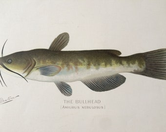 1902 The Bullhead (Amiurus Nebulosus) Large Original Antique Lithograph - S. F. Denton - Fishing Gift - Available Mounted and Matted