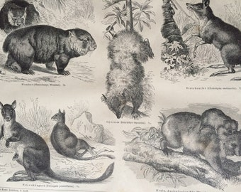 1874 Marsupials Large Original Antique Print - Available Mounted and Matted - Victorian Decor - Kangaroo - Koala - Wombat - Opossum
