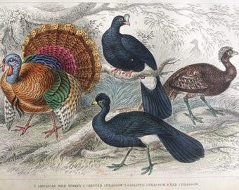 1852 Original Antique Hand-Coloured Bird Illustration - American Wild Turkey, Crested, Galeated & Red Curassow - Ornithology