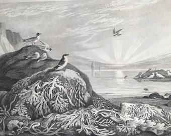 1858 Marine Algae - Fucaceae Original Antique Engraving - Victorian Decor - Sealife - Seaweed - Botany - Available Framed