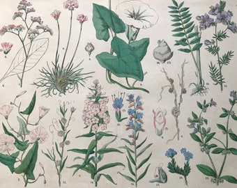 1880 Large Original Antique Botanical Lithograph - Botanical Print - Botany - Plants - Botanical Art - Wall Decor - Bindweed - Madwort