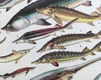 1983 Original Vintage Print - Fish - Swordfish - Ocean Wildlife - Marine Decor - Mounted and Matted - Available Framed