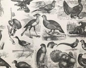 1869 Birds - Zoology Large Original Antique Illustration - Ornithology - Wood Pigeon - Turkey - Hawk - Golden Pheasant - Mounted and Matted