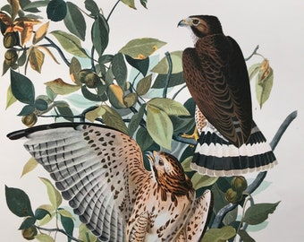 Broad-Winged Hawk Large Original Vintage 1964  Audubon Print, 14 x 17 inches, Bird Decor, Vintage Decor, Ornithology