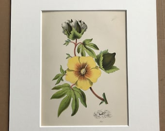 1891 Cotton Plant Original Antique Encyclopaedia Illustration - Botanical wall decor - Yellow Flower - Available Framed