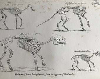 1858 Original Antique Engraving - Skeletons of fossil Pachydermata from the Gypsum of Montmartre - Geology - Fossil - Palaeontology