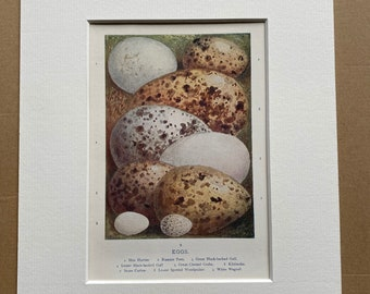 1921 Bird Egg Original Antique Print - Ornithology - Mounted and Matted - Available Framed