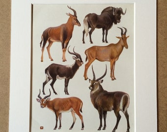 1968 Original Vintage Print - Mounted and Matted - Tsessebe, Wildebeest, Nile Lechwe, Hartebeest, Kob, Waterbuck - Available Framed