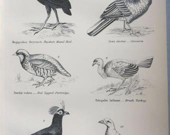 1891 Gallinae - Curassow, Partridge, Turkey, Sheathbill, Original Antique Steel Engraving - Encyclopaedia Illustration - Ornithology- Bird