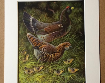 1968 Original Vintage Bird Print - Mounted and Matted - Western Capercaillie - Ornithology - Available Framed