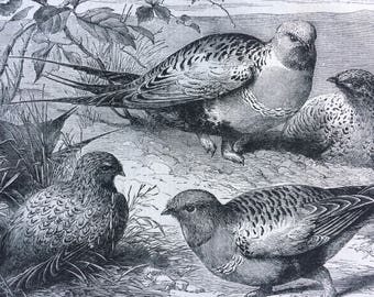 1862 Original Antique Engraving - Pallas Sandgrouse in the Zoological Gardens, Regents Park - Victorian Wall Decor - Mounted and Matted