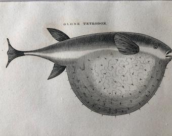 1812 Globe Tetrodon Original Antique Engraving - Ichthyology - Fish Art - Fishing Cabin Decor - Available Framed