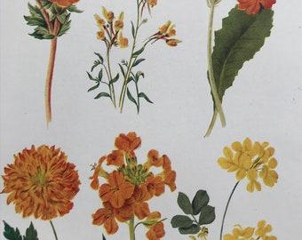 1924 Original Vintage Botanical Print - Welsh Poppy, Wallflower - Flower - Garden - Horticulture - Mounted and Matted - Available Framed