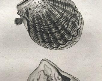 1809 Mytilus Margaritiferus or Pearl Mussel Original Antique Engraving - Marine Wildlife - Ocean Decor - Available Matted and Framed