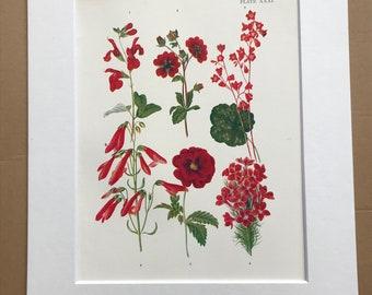 1924 Original Vintage Botanical Print - Sage, Alum Root, Pentstemon, Avens - Garden - Horticulture - Mounted and Matted - Available Framed