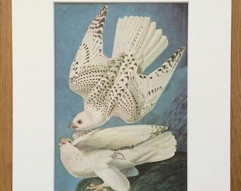 1966 Gyrfalcon Original Vintage Audubon Print, Available Framed 14 x 11 inches, Bird Decor, Vintage Decor, Ornithology, Audubon
