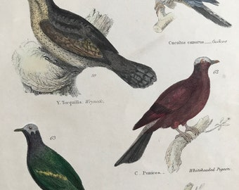 1862 Cuckoo, Wryneck, Pigeon and Dove Original Antique Hand Coloured Engraving - Available Mounted, Matted and Framed - Bird