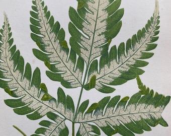 1872 Original Antique Hand Coloured Botanical Illustration - Botany - Beautiful Leaved Plant - Pothos - Available Matted & Framed
