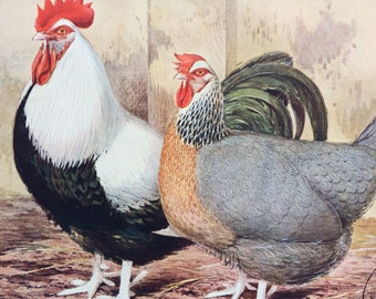1910 Silver Grey Dorkings Original Antique Matted Lithograph - Poultry - Chicken - Cockerel - Ornithology - Decorative Wall Art