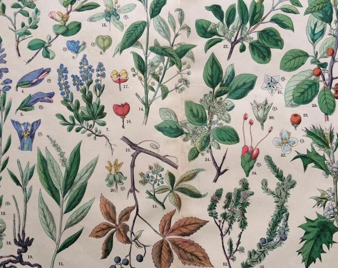 Featured listing image: 1890 Large Original Antique Botanical Lithograph - Botanical Print - Botany - Plants - Botanical Art - Wall Decor - Milkwort
