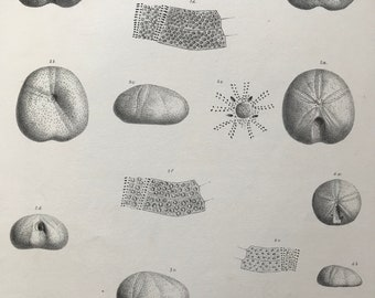 1857 Original Antique Engraving - Fossil Echinodermata of the Oolitic Formations- Palaeontology - Mounted and Matted - Available Framed