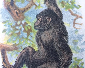 1896 Gorilla Original Antique Chromolithograph - Monkey - Zoology - Natural History - Wildlife Decor - Decorative Print - Available Framed