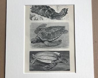 1897 Mata Mata, Hawksbill sea turtle, Leatherback sea turtle Original Antique Print - Mounted and Matted - Reptile - Available Framed