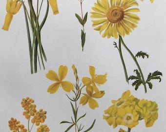 1924 Original Vintage Botanical Print - Madwort, Primrose - Garden - Horticulture - Mounted and Matted - Available Framed