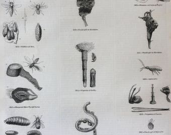 1856 Large Original Antique Insect Engraving - Blowfly, Pseudo-Gall, Gadfly and Grubs, Aphides, Larvae - Entomology - Wall Decor