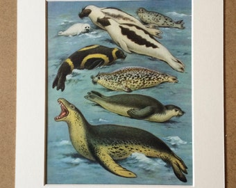 1968 Original Vintage Print - Mounted and Matted - Seal Varieties - Available Framed