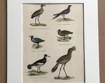 1862 Oystercatcher, Sandpiper, Golden Plover, Courser Original Antique Hand Coloured Engraving - Available Mounted, Matted and Framed - Bird
