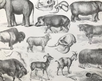 1869 Zoology Large Original Antique Illustration - Elephant, Hippopotamus, Goat, Bison, Cow, Boar- Natural History - Mounted and Matted