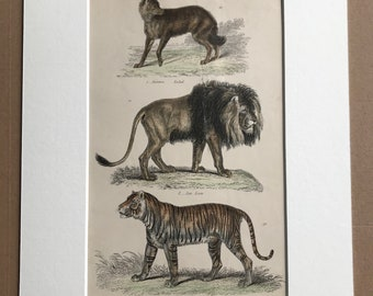 1862 Jackal, Lion and Tiger Original Antique Hand Coloured Engraving - Available Mounted, Matted and Framed - Wildlife