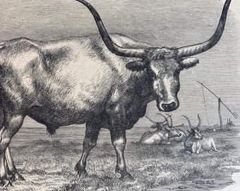 1896 Hungarian Bull Original Antique Print - Wildlife - Natural History - Mounted and Matted - Available Framed