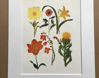 1924 Original Vintage Botanical Print - Lily, Knapweed - Flower - Garden - Horticulture - Mounted and Matted - Available Framed
