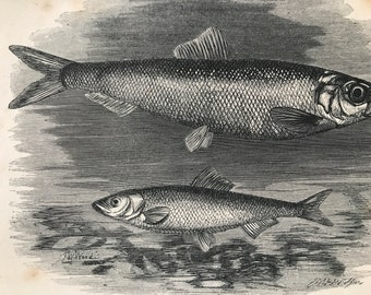 1863 Herring and Sprat Original Antique Print - Ichthyology - Ocean Wildlife - Marine Decor - Mounted and Matted - Available Framed