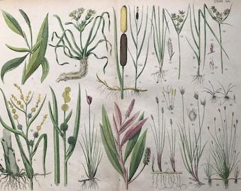 1880 Large Original Antique Botanical Lithograph - Botanical Print - Botany - Plants - Botanical Art - Wall Decor - Grass - Sedge - Reed