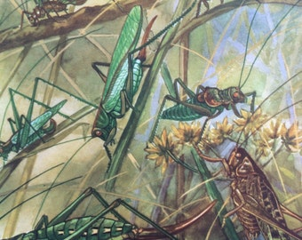 1968 Colourful Vintage Insect Print - Grasshopper - Cricket - Available Framed - 14 x 11 inches - Natural History