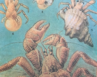 1988 Coconut Crab Life Cycle Original Vintage Print - Crustacean - Ocean Wildlife - Marine Decor - Mounted and Matted - Available Framed