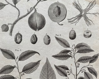 1806 The Nutmeg Tree Original Antique Engraving - Botanical Decor - Encyclopaedia - Mounted and Matted - Available Framed